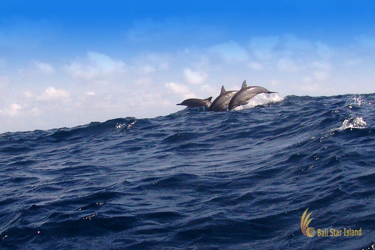 Wild Movement - Bali Dolphin Watching Tour – Bali Star ...